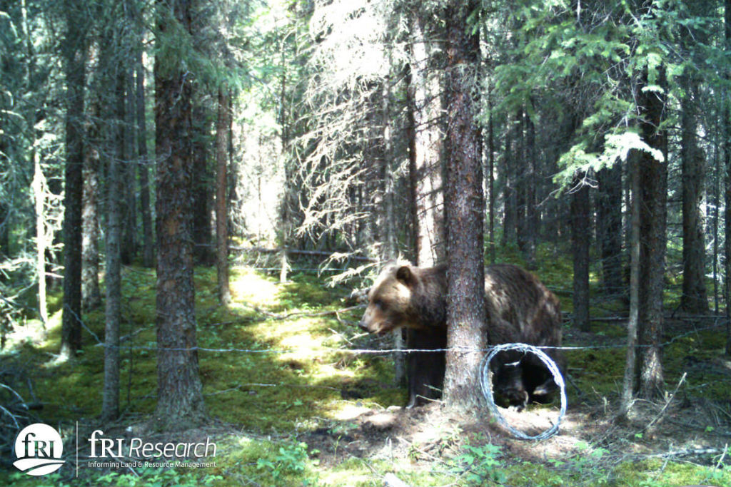 A grizzly visits a hair snag site, leaving a sample so scientists can track it. Photo courtesy of fRI Research.