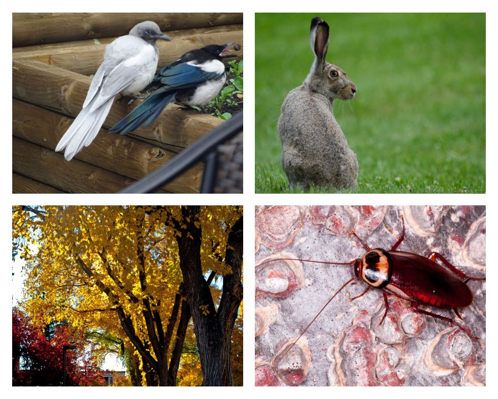 Which is the most Edmonton species? Clockwise: Ghost magpie, white-tailed prairie hare, American elm, West Edmonton Mall cockroach